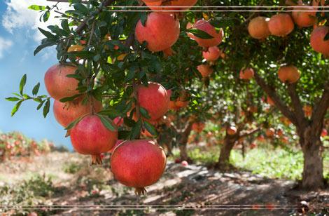 Vendita piante frutto osimo vendita alberi da frutto ancona for Piante da frutto