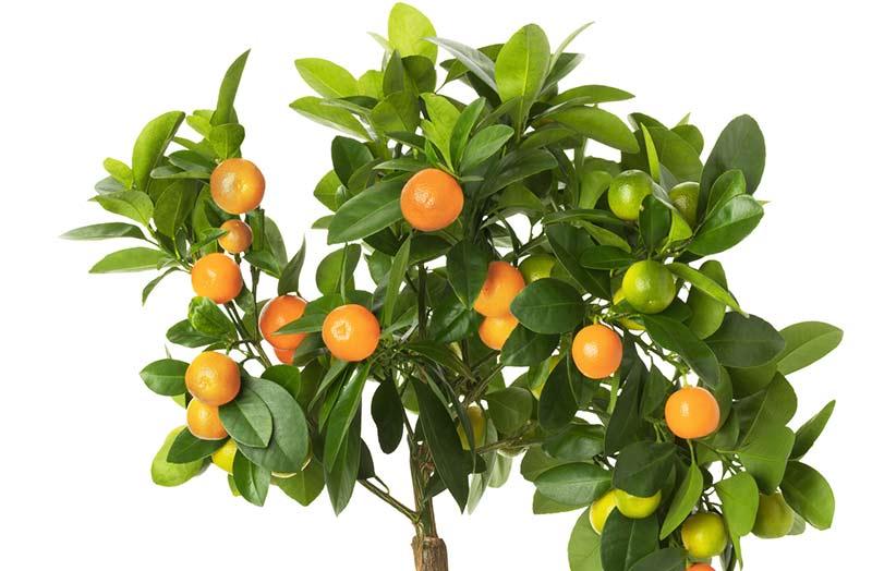 Vendita piante frutto osimo vendita alberi da frutto ancona for Piante da vivaio